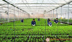 Tuyển 15 nữ trồng rau củ quả trong nhà kính tại Kumamoto, Nhật Bản
